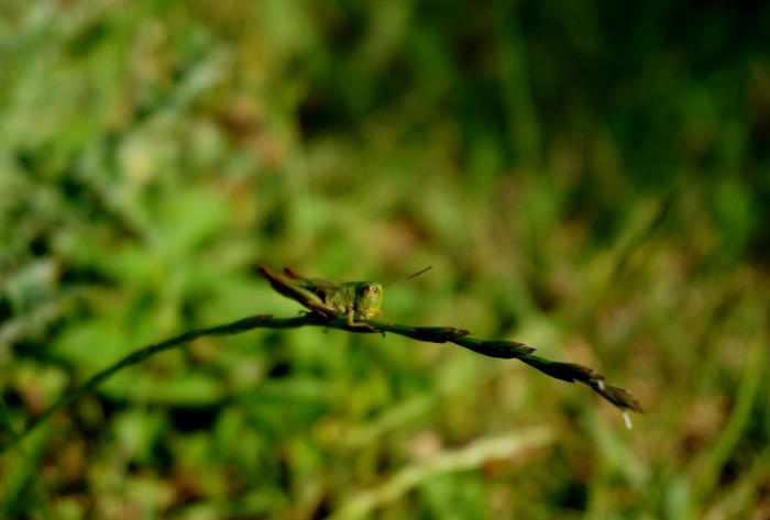 sauterelle